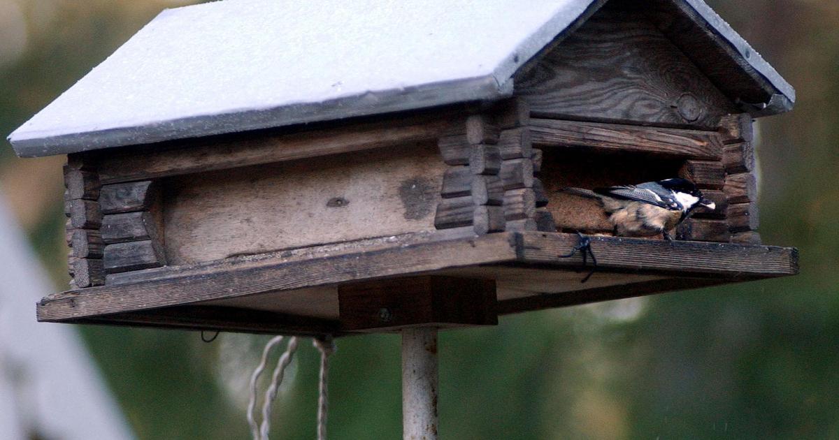Pihlajanmarjoja Syövät Linnut